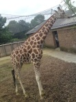 gary the giraffe II